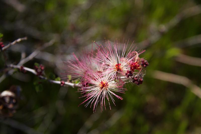 Fairy Duster - Calliandra eriophylla