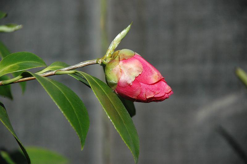 Rosie - Belmont