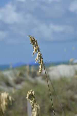 Sea Oats at Cocoa Beach