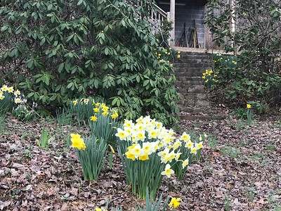 Daffodil's at Judy & Harold's
