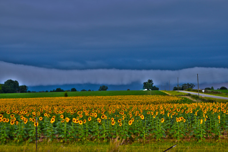 Sunflowers against the clouds