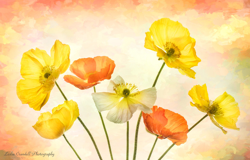 Iceland Poppies #1