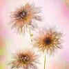 Pastel Pink Dahlias
