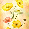 Iceland Poppies #2