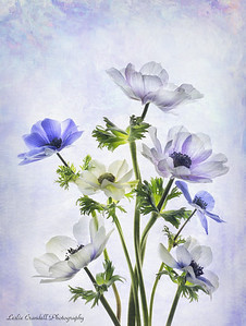 Violet and White Aneomomes