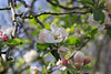 Apple blossoms near Max Patch, NC<br /> ~ Images by Martin McKenzie ~ All Rights Reserved