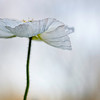 delicate white poppy