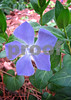 IMG_0314 Perfect Periwinkle 1