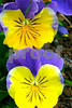 P1050734 CU Two  Purple and Yellow Pansies 9x12
