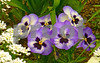 P1050424 CU Purple Pansies dc 8x12 300dpi