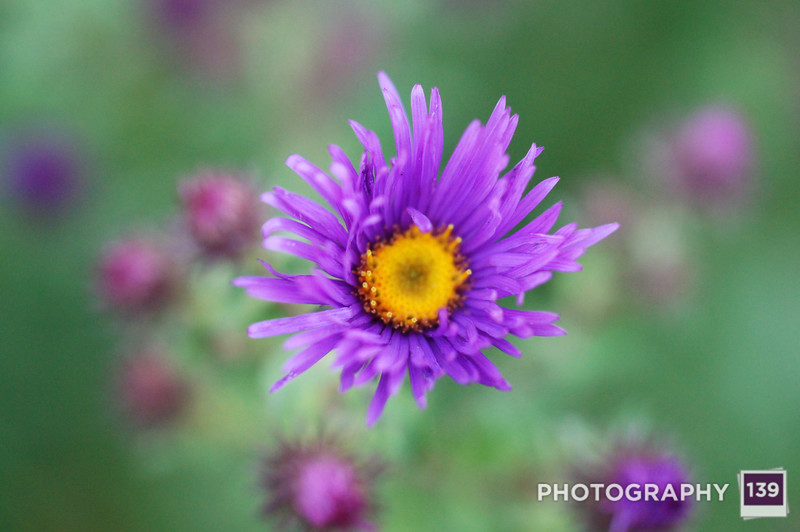 Bittersweet Volume 3, personal photo project, aster,