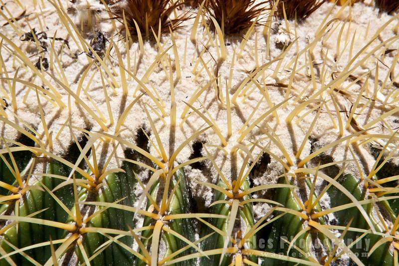 Spines, Barrel Cactus