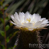 Beautiful White Cactus Blossom