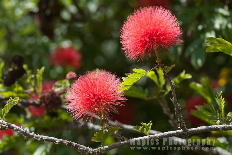 Red Puffs