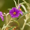 Solanum - Sturtianum F.Muell