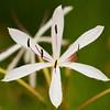 Crinum Peduncutatum  - Swamp Lily or River Lily or Mangrove Lily