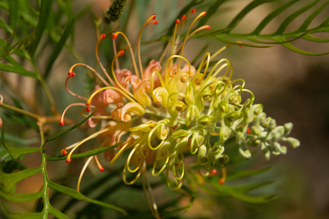 Peaches and cream Grevillea