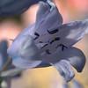 Blue Bell, Azalea Collection, National Arboretum, Washington, DC.