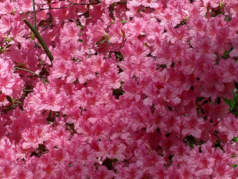 Azalea Collection, National Arboretum, Washington, DC.