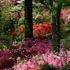 Glenn Dale Hillside, Azalea Collection, Azalea Collection, National Arboretum, Washington, DC.