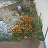 Snow on Tammy's Indian Blanket flowers.