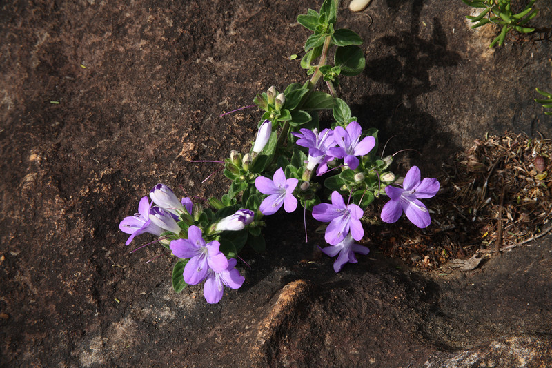Mauve to purple funnel-shaped flowers with two stamens anda stigma. About 20-30 mm in diameter. Coastal and inland shrub. Found through eastern South Africa