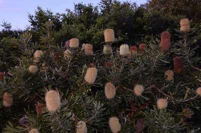"""Banksia aemula"""