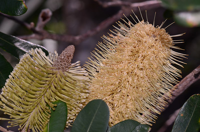 "Note leaves with no teeth (I call them serrations), a feature of ""Banksia integrifolia""."