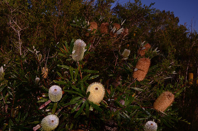 """Banksia oblongifolia"",  Swamp Banksia"