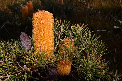 Hairpin Banksia.