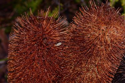 """Banksia ? ericifolia ?oblongifolia"" with a ""Siamese twin-like"" deformity.  Developmental anomalies are not unusual in the ""Banksia"" cones."