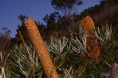 """Banksia spinulosa"",  Hairpin Banksia."