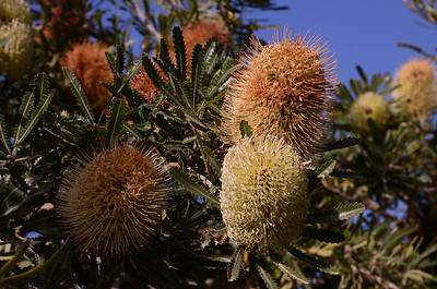 "Wallum Banksia, ""Banksia aemula""."