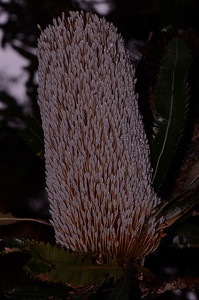 """Wallum Banksia"", note saw-tooth edged leaves with teeth to base of leaf. See comment, next image."