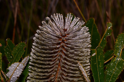 """Banksia oblongifolia"",  Swamp Banksia. Note irregular and un even teeth on the leaves."