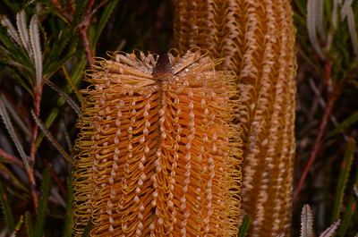 """Banksia spinulosa"".  Hairpin Banksia, my favourite Banksia with truly majestic gold flowers.  Note linear leaves, pale undersurface, and fine teeth at edges."