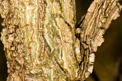 Deeply furrowed bark on a small tree in the wetlands