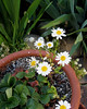 Volunteer daisies in the strawberry pot.