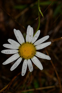 unknown daisy.