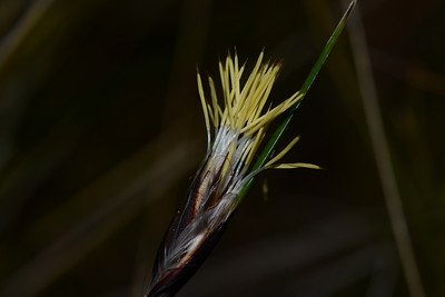 "Unknown grass, note square shape like the ""Styphelia viridis"""