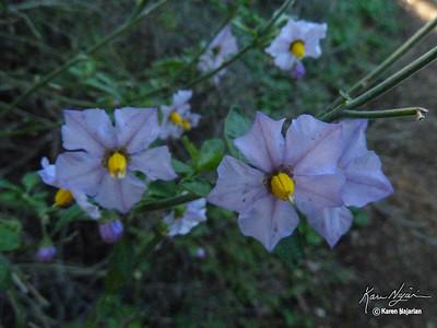 Blue Witch, , Middle Trail, Mt. Diablo, 2-21-15.