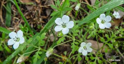 White Nemophilia, Middle Trail on Mt. Diablo, 3-12-15.