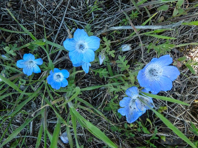 Baby Blue Eyes, Mt. Diablo, Middle Trail, 2-21-15.