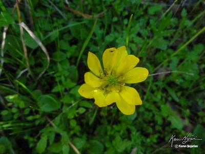 California Buttercup, , Mt. Diablo Middle Trail, 2-21-15.