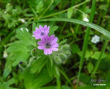 Purpletip Cut-Leaf Geranium, Old Briones Road Trail, Briones, 3-10-15.