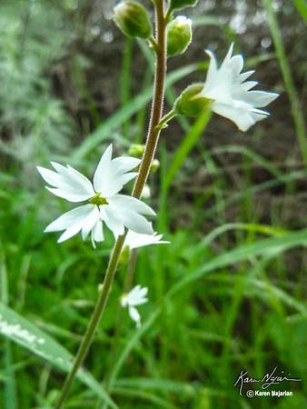 Woodland Star, Briones, 3-10-15.