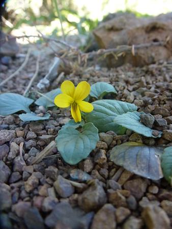 Stream Violet, Viola glabella, Juniper Trail, Mt. Diablo, 3-17-15.