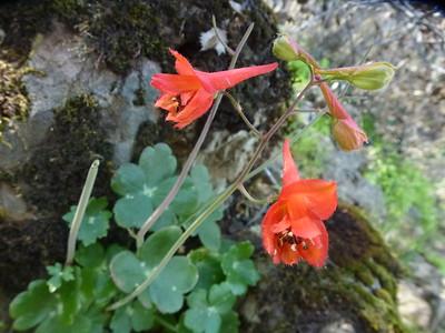 Red Penstemon, Bald Ridge Trail, Mt. Diablo