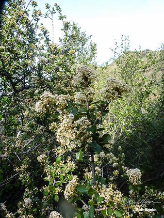 Buck Brush, Middle Trail, Mt. Diablo, 3-12-15.