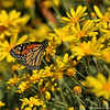 A male Monarch sipping nectar from a Daisy flower